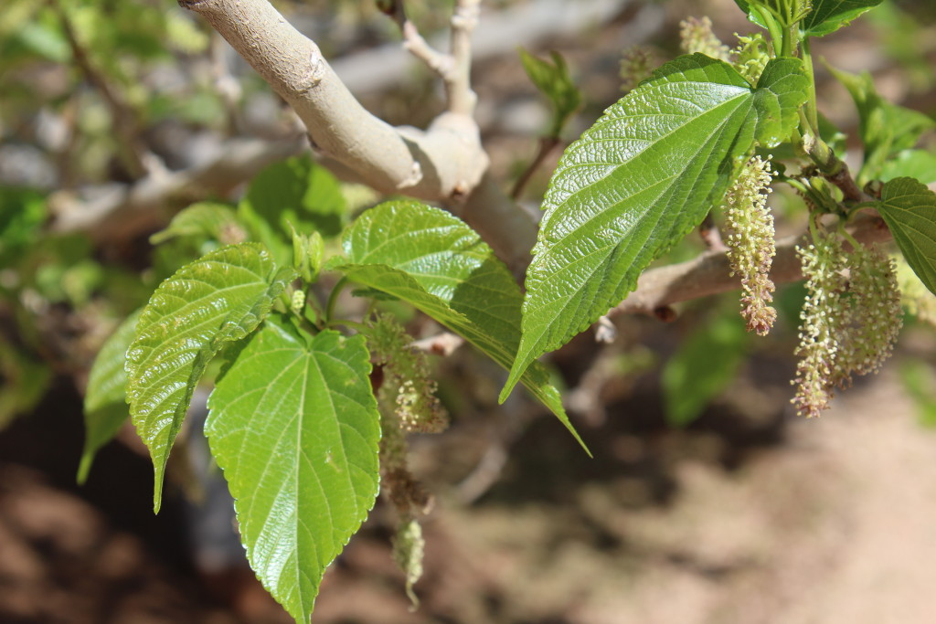 Mulberry leaves opening up.